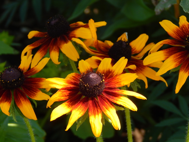 Rudbeckia - yellow brown flowers Dalhousie, NB