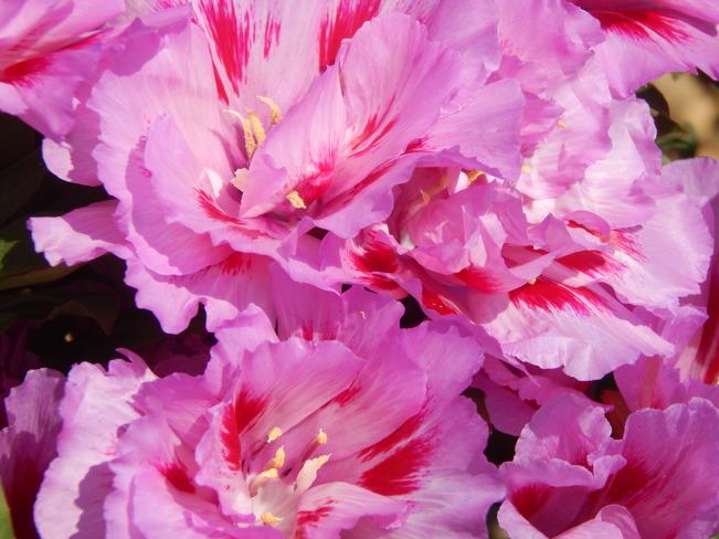 Pink Flowers Dalhousie, NB