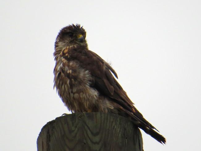 jeune faucon Trois-Rivières, QC