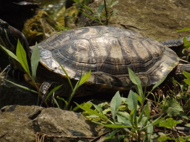 Turtle St. Catharines, ON