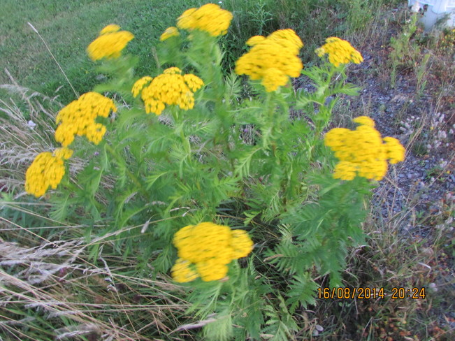 Do u know what kind of flower this is ??? Joggins, NS