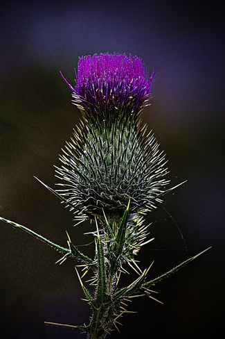 A thistle a tassel ....... Pierrefonds, Quebec Canada
