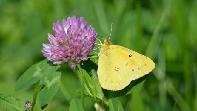 Sulphurs Butterfly! St. Catharines, ON