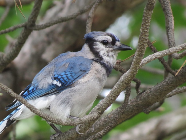The Blue Jay Mississauga, Ontario Canada
