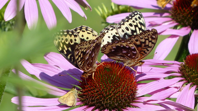 Butterfly's dancing on cone flowers Grand Forks, BC