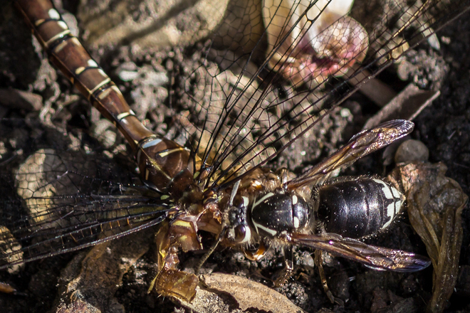 Wildest Backyard - Southern Hawker female dragonfly hunted down Bald-faced horne Mississauga, ON