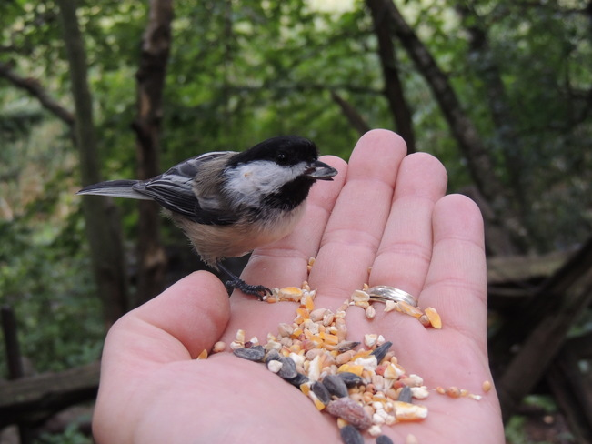 Chickadee in my hand Lynde Shores Conservation Area, Whitby, ON