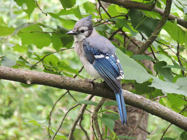 Another beautiful Blue Jay Lynde Shores Conservation Area, Whitby, ON