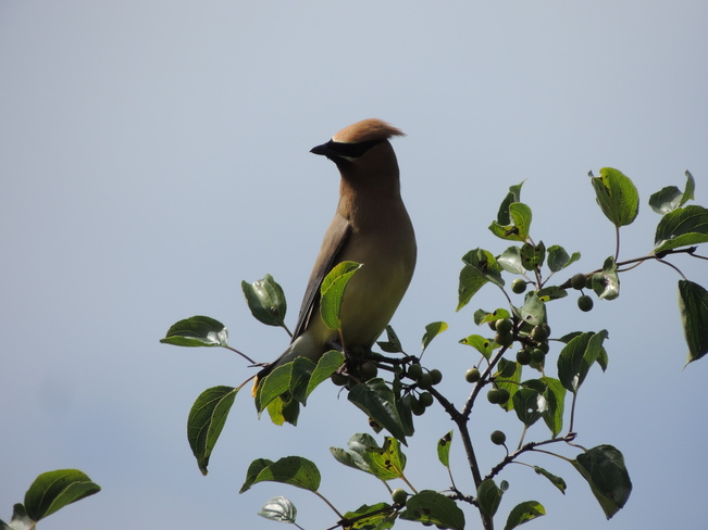 Cedar Waxwing Lynde Shores Conservation Area, Whitby, ON