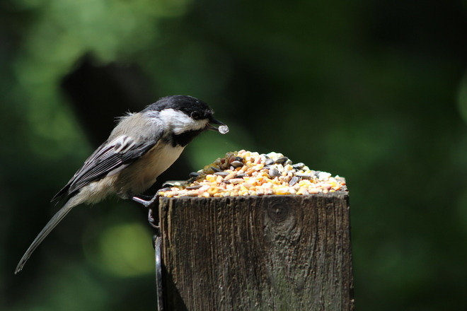 Chickadee having a snack Lynde Shores Conservation Area, Whitby, ON