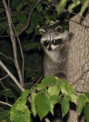 Baby Raccoon in tree. Sauble Beach, ON