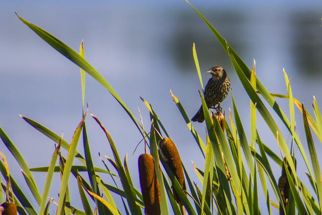 Les magnifiques oiseaux du Lac Osisko Lac Osisko, Rouyn-Noranda, QC