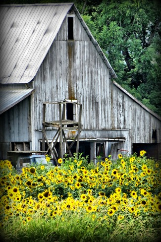 Old barn and sunflowers. Enderby, BC