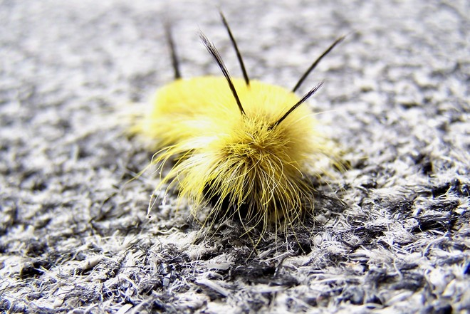 American Dagger Moth Sudbury, Ontario