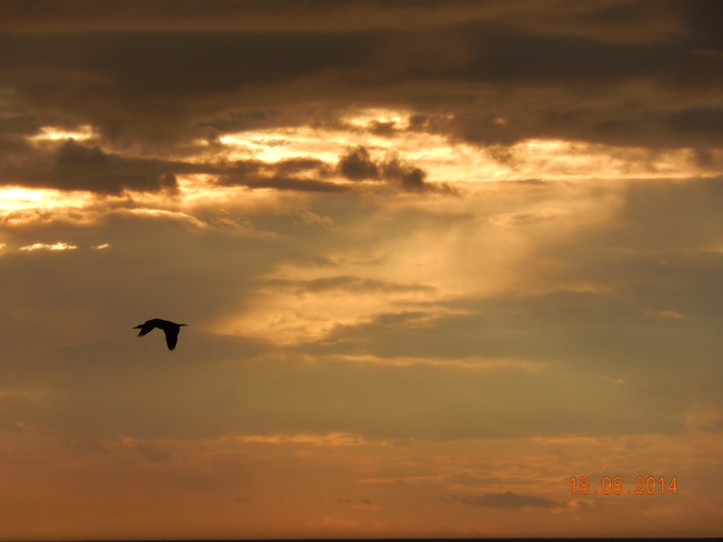 black grebe flying across harborville's bay of fundy during sunset 257-375 Shore Road, Berwick, NS B0P 1E0, Canada