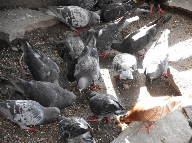 Pigeons affamés loll Montréal, QC