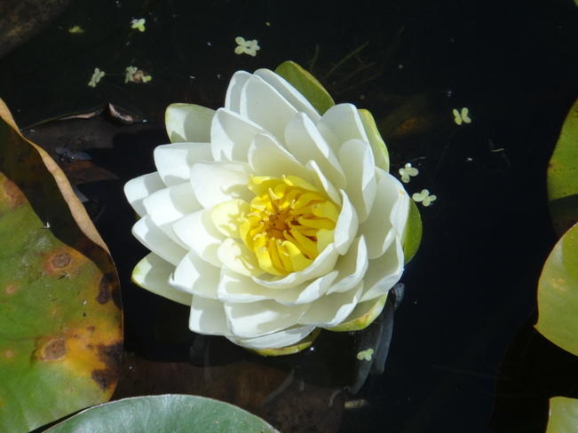 Water Lily. Toronto, ON