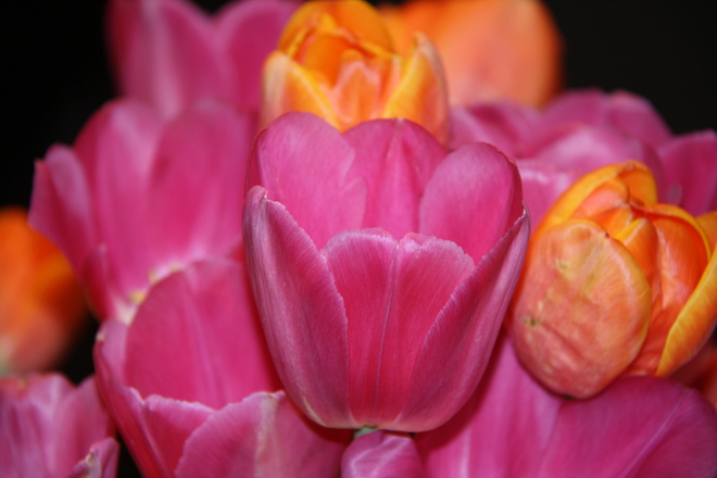 Tulips Thornhill, Vaughan, ON
