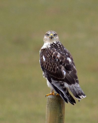 I'm Gyrfalcon and I see you! Leader, SK