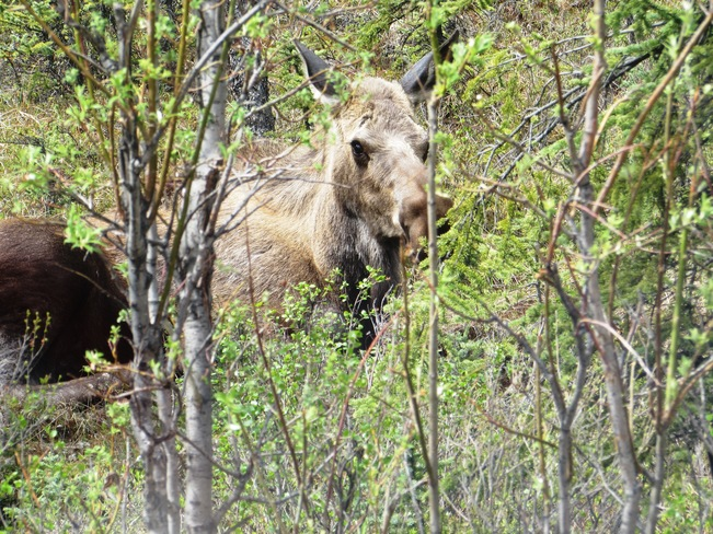 13 Grizzly Bears and many Moose in Denali, Alaska Denali National Park and Preserve, AK, United States