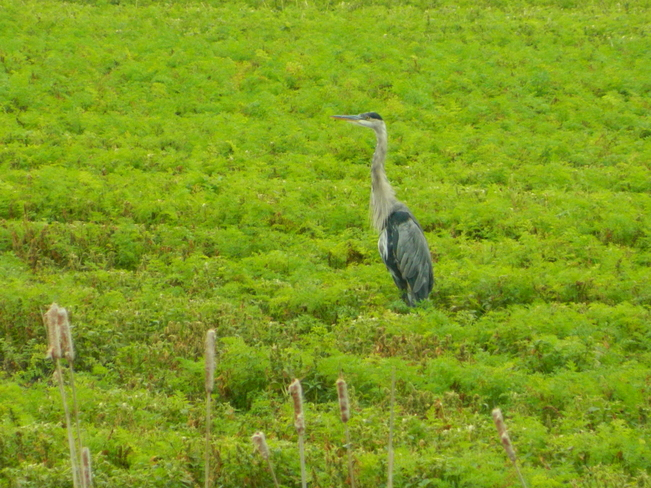 Heron standing in a field. Bradford West Gwillimbury, ON