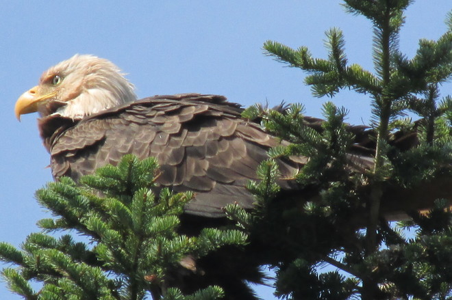 Bald headed eagle Dorchester, NB