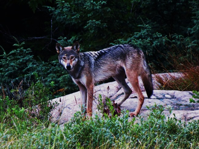 Coyote, CoyWolf, or Wolf? Anyone know? Elliot Lake, ON