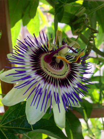 Passion Flower Sidney, British Columbia Canada