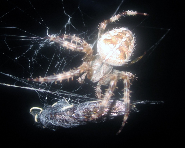 A spider at night seemed unafraid and even agressive.
