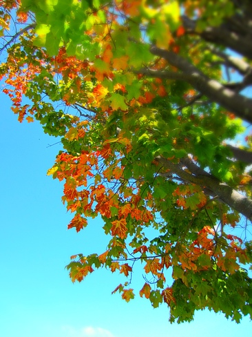 Beautiful contrast of blue sky and fall leaves... orillia on