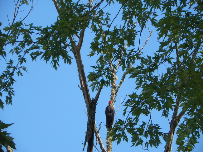 Pileated woodpeckers Fredericton, NB