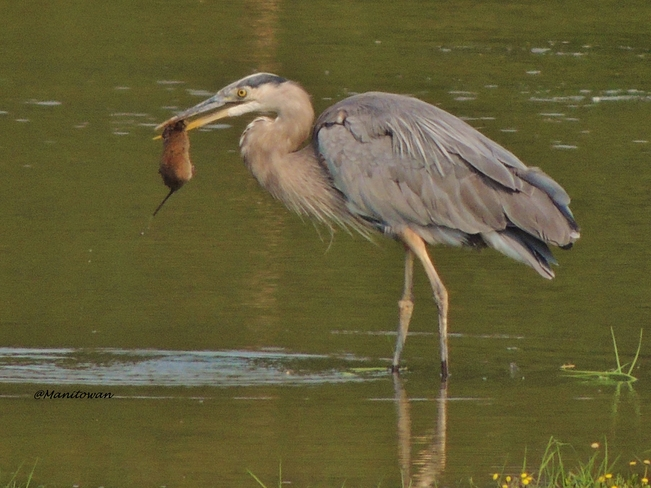 Nature Offers Up Dinner For Blue Heron delta, bc