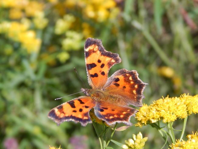 Open wings Maltais, NB