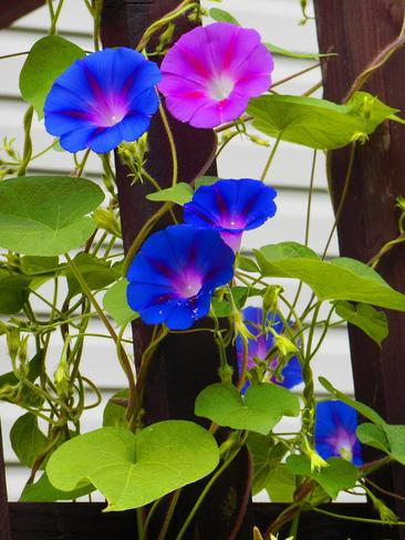 Pretty morning glories Bothwell, ON