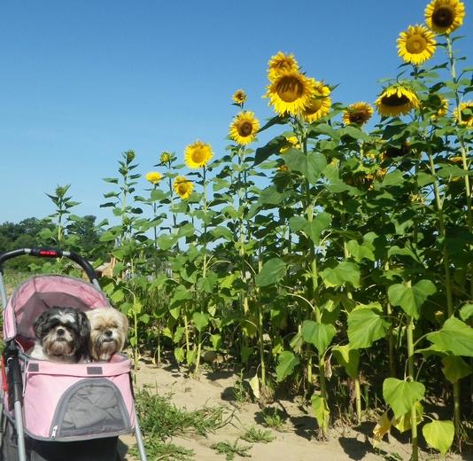 Shihtzus and sunflowers