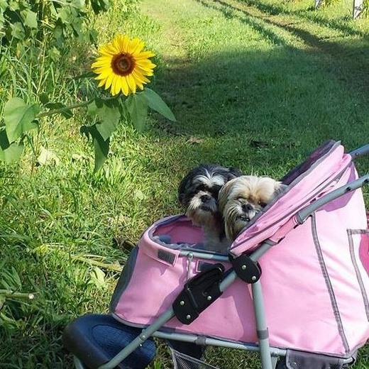 sunflowers and Shihtzus  tender crop farm