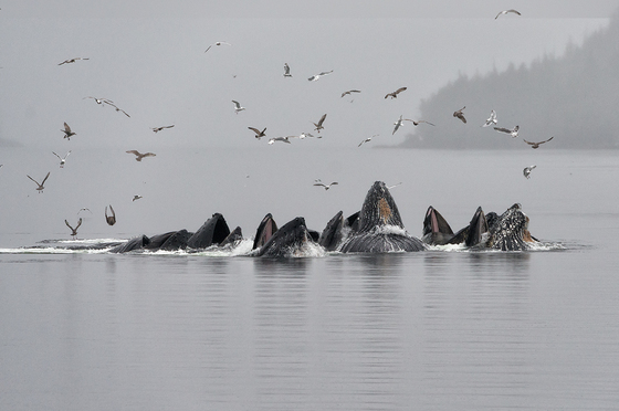 2b. Humpbacks feeding in the mist