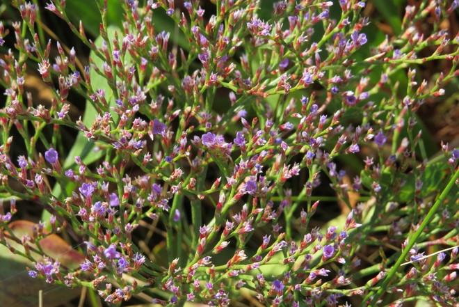 Sea Heather or Sea Lavendar (Limonium) Schnare Cove, Chester, NS