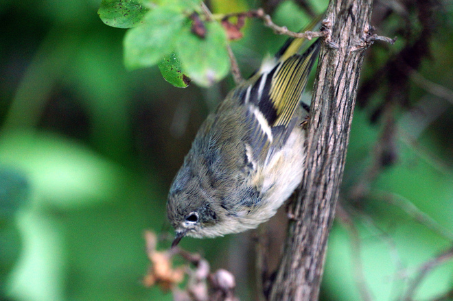 Ruby Crowned Kinglet Olds, AB