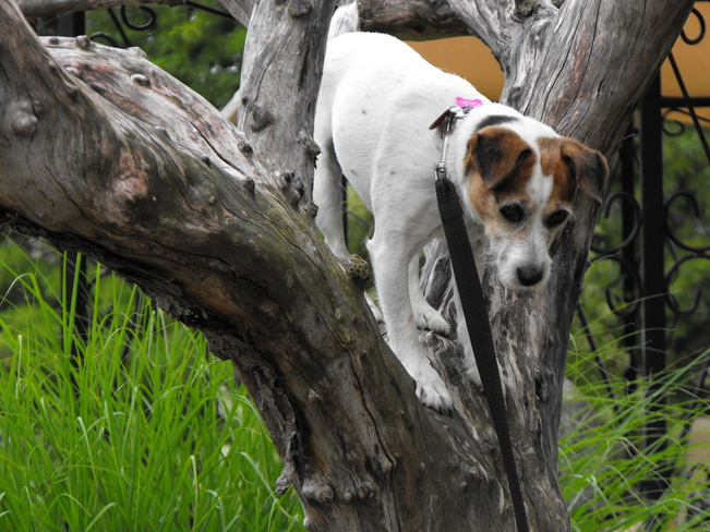 Tree climbing Cricket (Jack Russell) Meaford, ON