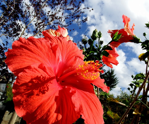 Neighbours hibiscus Royston, BC