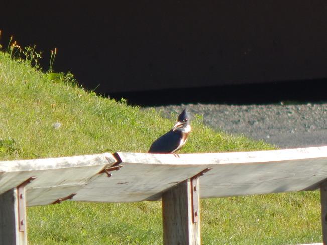 The Female Belted kingfisher bird Atholville, NB