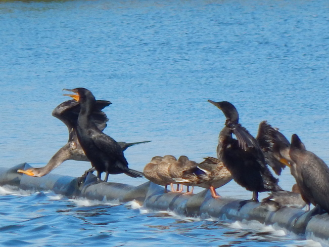 The great Cormorant birds Atholville, NB