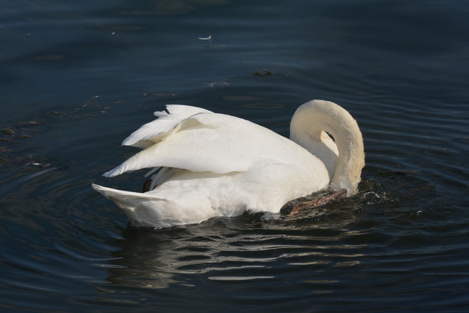 Mute swans! St. Catharines, ON