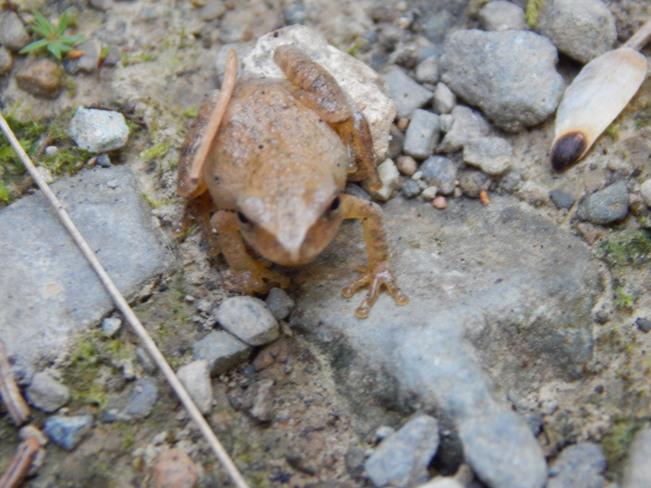 Tiny brown frog Maltais, NB