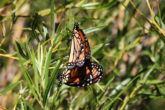 Mating Monarchs 1108 Point Pelee Drive, Leamington, ON N8H 3V4, Canada