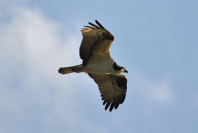 Osprey Always Watching kelowna