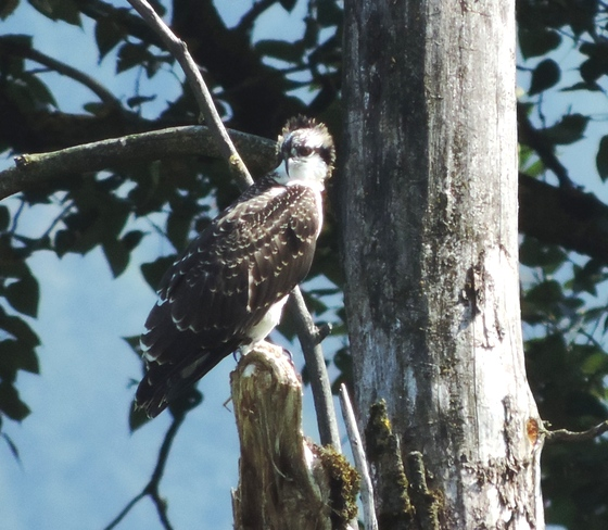 Fledgling Osprey. Gr Blue Heron Reserve Chilliwack B,C.
