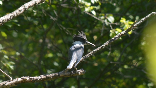 Belted Kingfisher! St. Catharines, ON