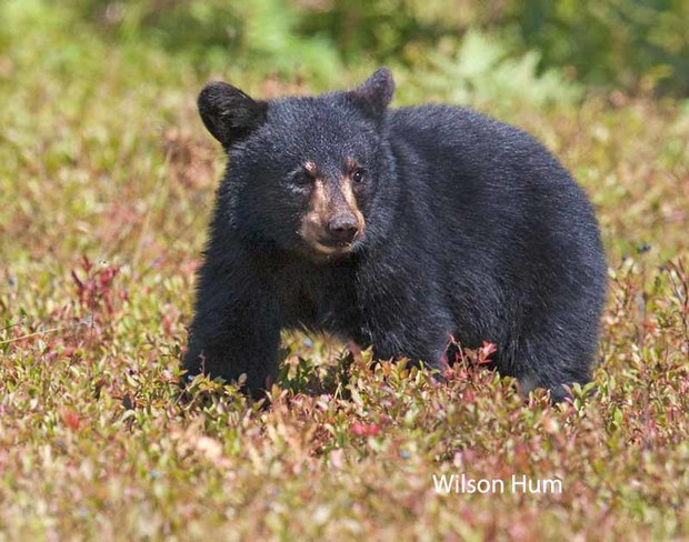 Bear cub looking for blueberries Ottawa, ON